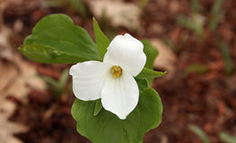 White trillium Royalty Free Stock Photo