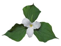 White trillium with leaves. White trillium, the floral emblem of Ontario (path included royalty free stock image