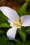White trillium - trillium kamchatan (trillium camschatcense) Royalty Free Stock Image