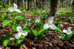 White Trilliums on the forest floor. White Trilliums growing on the forest floor. Trillium grandiflorum is the official emblem of the Province of Ontario and the stock photo