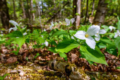 White Trilliums on the forest floor (low angle). White Trilliums growing on the forest floor. Trillium grandiflorum is the official emblem of the Province of stock images