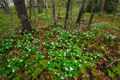 White Trilliums in a Forest Stock Photo