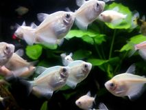 White tropical fishes stock photos