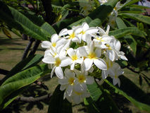 White Tropical Flower - Frangipani. Frangipani - exotic tropical flower with fragrant scent. Classical image for tropical travel illustrations Stock Photography