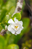 White tropical flower in Topes de Collantes, Cuba. National flower of Cuba - La Mariposa (butterfly jasmine stock photo