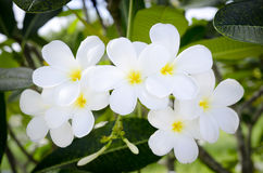 White Tropical Flower. White and yellow Tropical Flower wiyh green leaf Royalty Free Stock Image