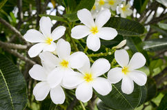 White Tropical Flower. White and yellow Tropical Flower wiyh green leaf Stock Image