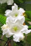 White tropical flowers royalty free stock image