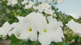 White tropical flowers, fresh in sunny day stock footage