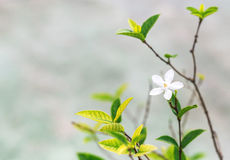 White tropical flowers. Nature Background. Selective focus. Blured Royalty Free Stock Photos