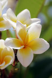 White tropical flowers (plumeria) Royalty Free Stock Images