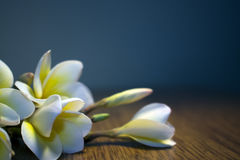 White tropical flowers plumeria on a dark background Stock Photo