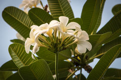 White tropical flowers (Plumeria, Frangipani) in garden Stock Photo