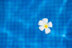 White tropical frangipani flower floating on the Stock Photography