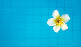 White tropical frangipani flower floating in swimming pool Royalty Free Stock Image