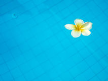 White tropical frangipani flower floating in swimming pool Stock Photo