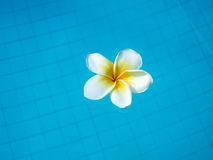 White tropical frangipani flower floating in swimming pool Royalty Free Stock Images