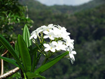 White Tropical Jungle Flowers with Mountain Background. White Tropical Jungle Flowers in the beautiful jungles of Belize, with a mountain landscape and hint of Royalty Free Stock Photo