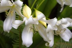 WHITE TROPICAL LILY FLOWERS stock photos