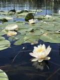 Waterlilies in Danube Delta. White tropical lotus waterlily bloom in Danube Delta Romania. A true paradise of nature and wildlife Royalty Free Stock Photography
