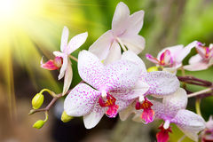 White tropical orchid Royalty Free Stock Photos