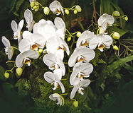 White tropical orchid flower branches on dark background Stock Photos