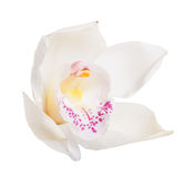 White tropical orchid Stock Photography