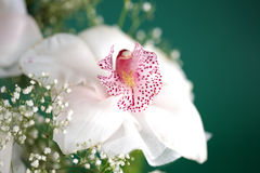White tropical orchids Stock Images