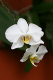 White tropical orchids Stock Photos
