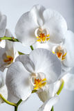 White tropical spring orchid flower plant Royalty Free Stock Images