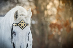 White trotter horse in medieval front bridle-strap outdoor horizontal close up portrait in winter in sunset royalty free stock photo
