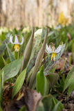 White Trout Lily Stock Images