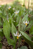 White Trout Lily Stock Image