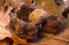 White truffle Royalty Free Stock Images