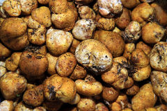 The white truffle Royalty Free Stock Image