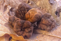 White truffle Tuber magnatum in the oak forest Stock Images
