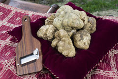 White truffles from Piedmont. White Truffles resting on a red pillow with a side truffles slicer stock photos