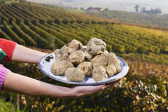 White truffles from Piedmont on the tray in the background hills Stock Photography