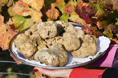 White truffles from Piedmont on tray held by the hands of a woman. In the background leaves of a vineyard in autumn royalty free stock photo