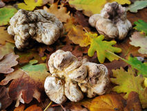 White truffles (tuber magnatum) Royalty Free Stock Photography