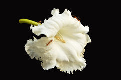 White trumpet flowers with ants Royalty Free Stock Image
