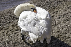 White trumpeter swan tucking head into body to sleep at waters e royalty free stock photography