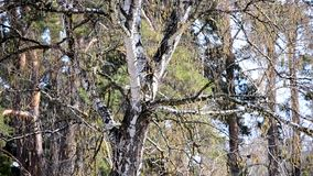 White trunk birch, buds on the branches in spring. White trunk of a birch with buds on the branches in spring day in the forest stock video
