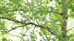 White trunk and foliage of birch are in wind