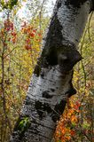 White trunk of a poplar similar to birch. Russian autumn. Red grapes around the white trunk. Blurred background of autumn. Forest. Lyrical plot for design royalty free stock photos