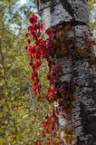 White trunk of a poplar similar to birch. Russian autumn. Red grapes around the white trunk. Blurred background of autumn. Forest. Lyrical plot for design stock photos