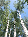White-trunked birches Stock Image