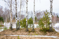 The white trunks of birch trees standing unlikely. The white trunks of birch trees standing in the forest, probably March Stock Images