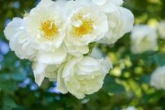 White tuber roses. A bunch of hanging white tuber roses on a green and blue bokeh background Stock Image