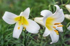 White tubular lilies Stock Photos